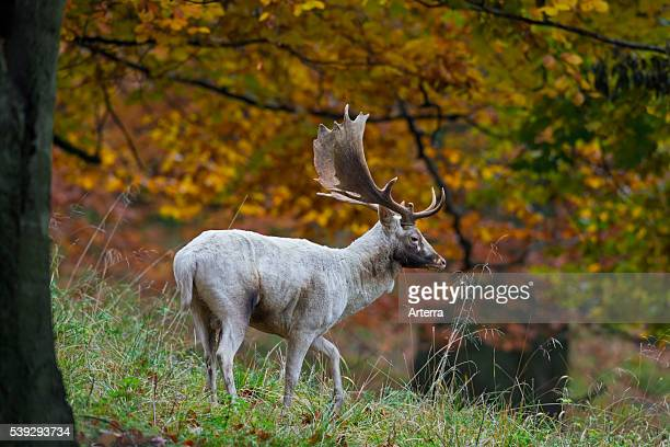 Fallow deer white buck in autumn forest during the rutting season Denmark