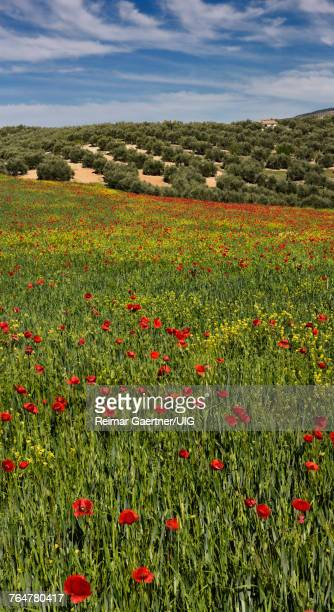Fallow field of spring wheat with red Poppies and Yellow Rocket weeds beside Olive groves at Puerto Lope Spain