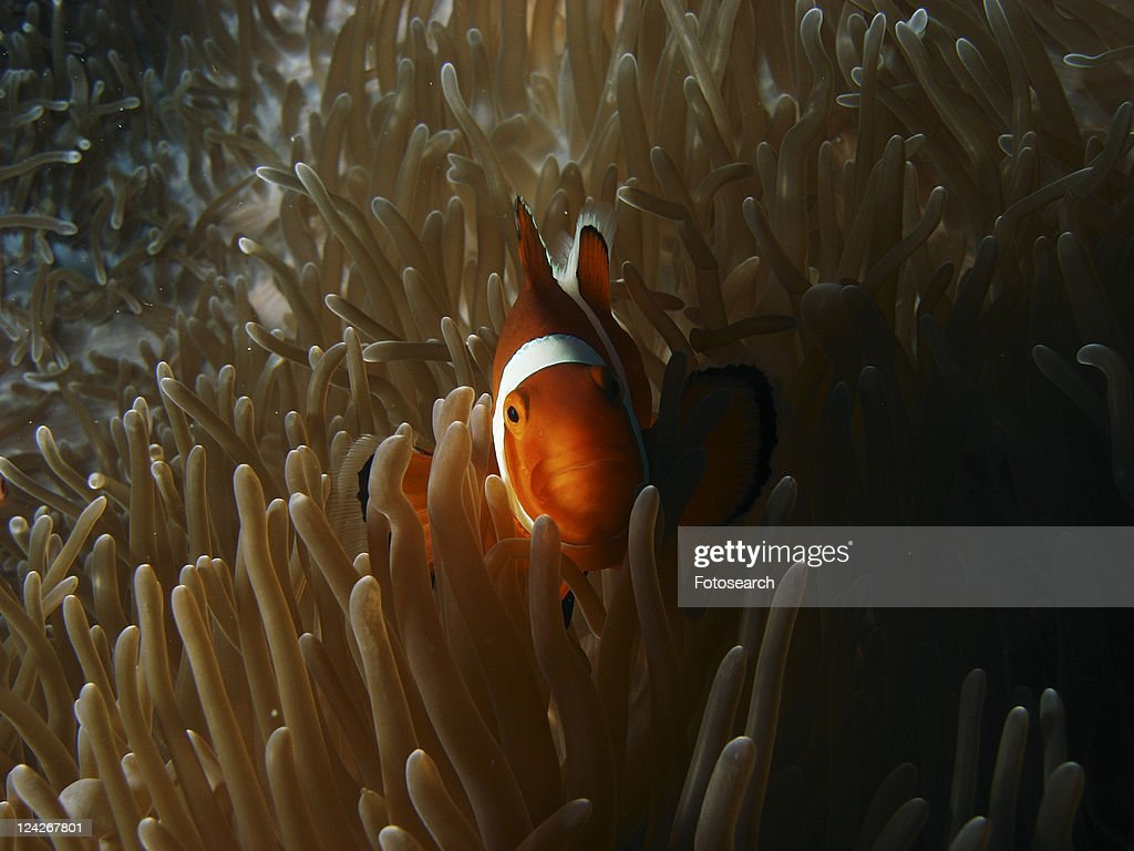 False clown Anemone Fish ( Amphiprion ocellaris ) seeking the protection of the anemone. Moalboal. Philippines. Taken 2007