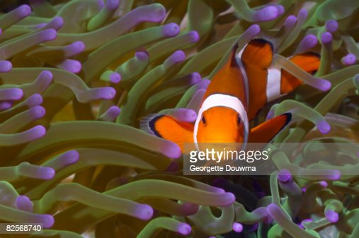 False clown anemonefish in anemone. : Foto stock