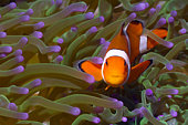 False clown anemonefish in anemone.