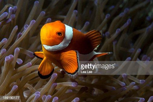 False clown Anemonefish : Stock Photo