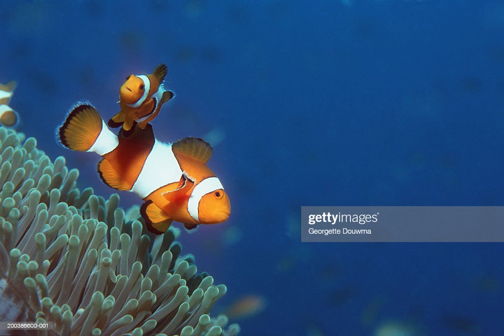 False clown anemonefish (Amphiprion ocellaris), underwater view : Stock Photo