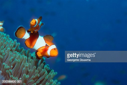 False clown anemonefish (Amphiprion ocellaris), underwater view : Stock Photo