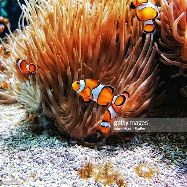 False Clown Fish Swimming By Coral In Sea