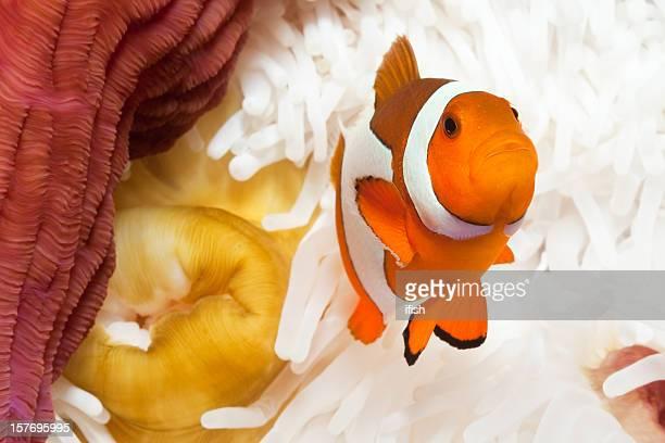 False Clownfish Amphiprion ocellaris, Sea-Anemone Heteractis magnifica, Mauan Island, Indonesia