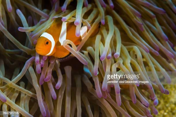 False clownfish in their anemone in Malaysia.