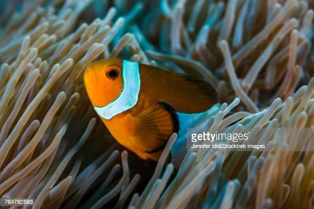 False clownfish stay close to their anemone, Tioman Island, Malaysia.