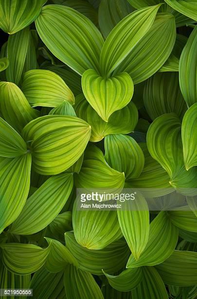 False helebore (Veratrum viride) Corn Lily