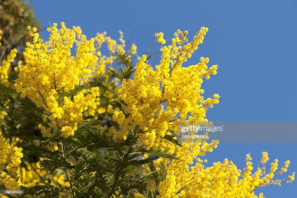 'False Mimosa (Acacia dealbata, Mimosaceae)'