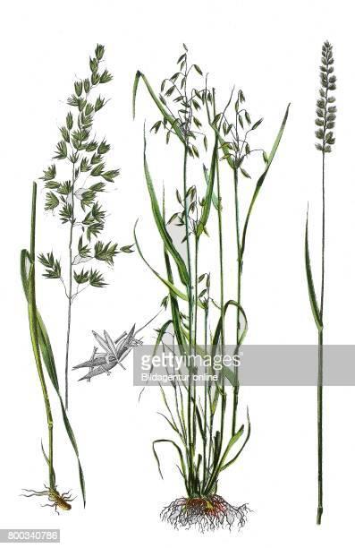 False oatgrass tall oatgrass tall meadow oat Arrhenatherum elatius common oat Avena sativa Crested dog'stail Cynosurus cristatus
