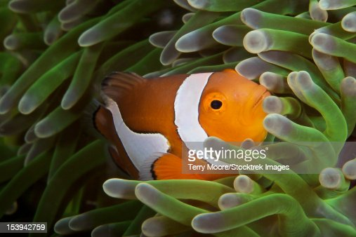 False Ocellaris Clownfish in its host anemone, Papua New Guinea.