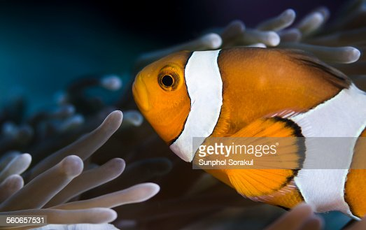A False Percula Clownfish (Amphiprion ocellaris)