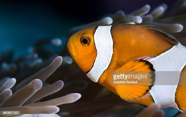 A False Percula Clownfish (Amphiprion ocellaris)