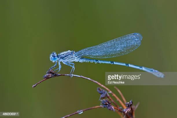 Familiar Bluet Damselfly, Male (Enallagma civile)