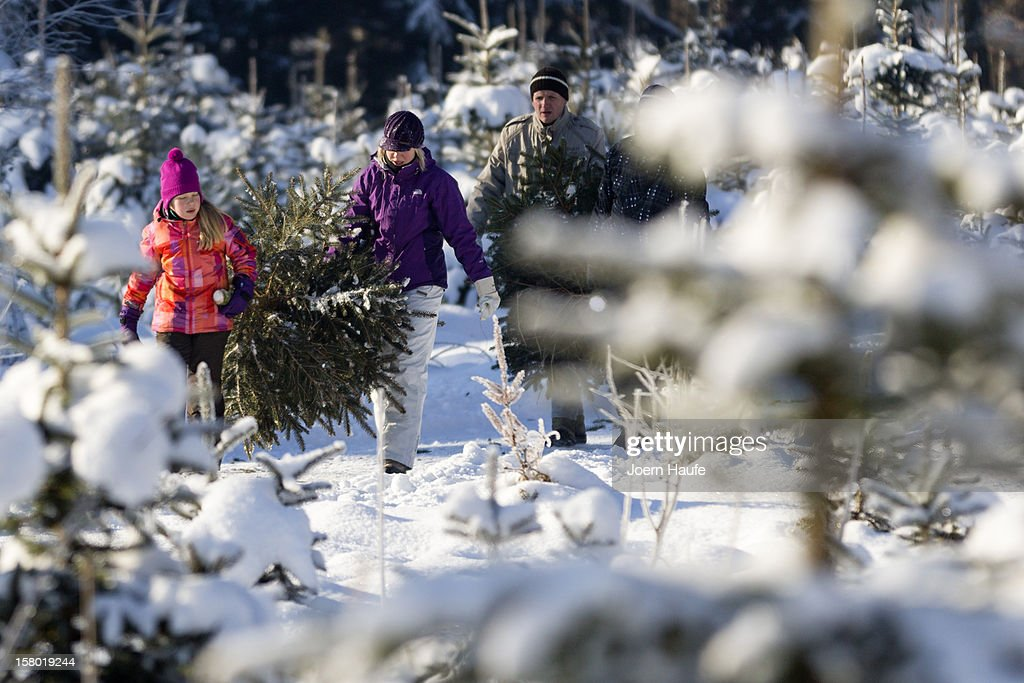A familiy carry a Christmas tree they chose and cut down themselves in a forest on December 8, 2012 in Fischbach, Germany. Forestry officials in the state of Saxony officially opened the 2012 Christmas tree season for people who want to retrieve their tree from designated forests rather than just buying it readily cut.