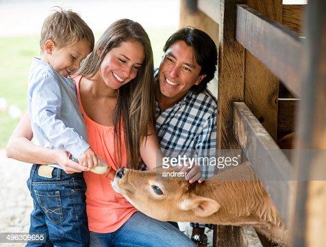 Family feeding a veal