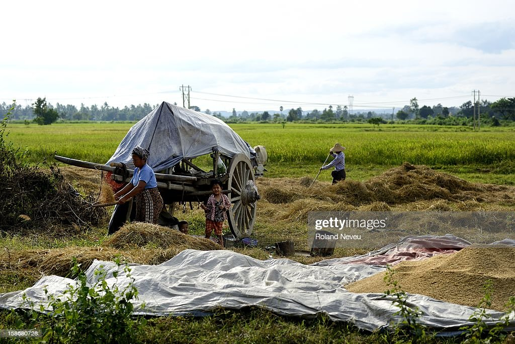 A family harvesting their rice crop in Nyapidaw..