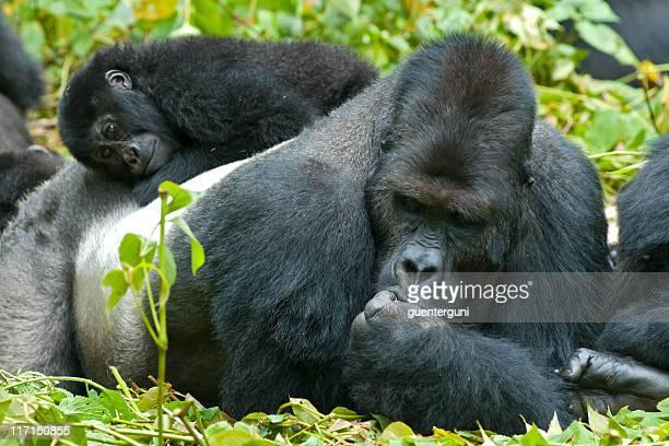 Family Life, Eastern Lowland Gorillas in Congo, wildlife shot
