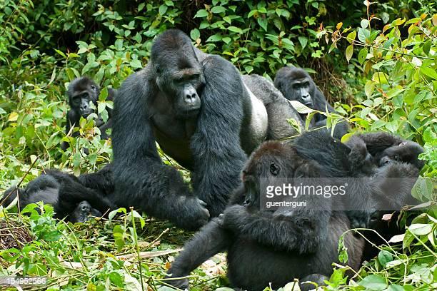 家族の生活、東ローランドのゴリラコンゴ、野生動物の写真