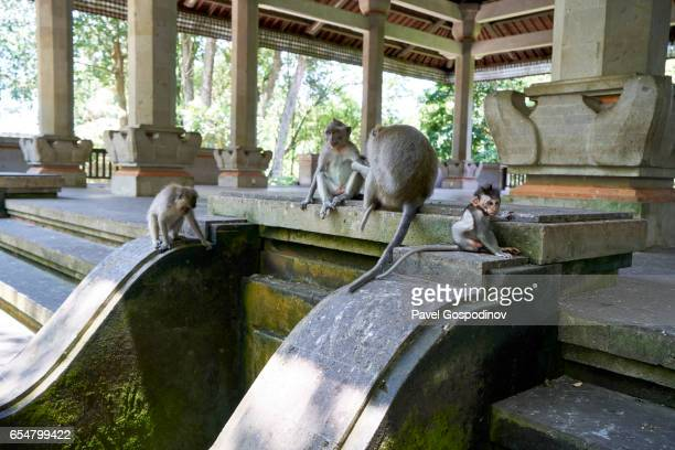 A Family Of Adults And A Baby Balinese Long-Tailed Monkey at The Ubud Monkey Forest, Ubud, Indonesia