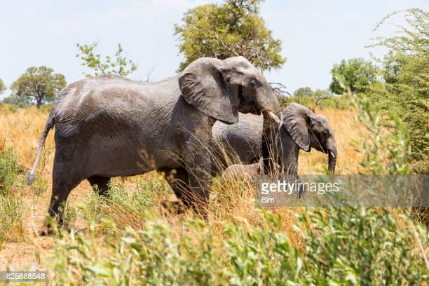 Familie der afrikanischen Elefanten