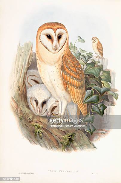 Family of Barn Owls by John Gould
