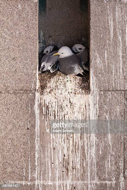 Family of Black-legged Kittiwakes (Rissa tridactyla) in nest on ledge of building
