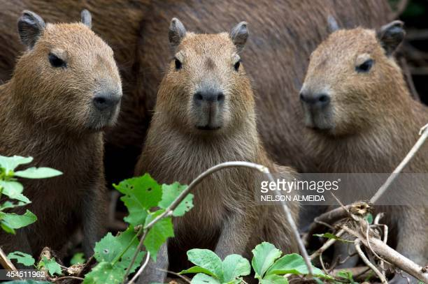 A family of capybara rests on one of the banks of the Paraguay river in Caceres Brazil the gateway to the Pantanal on August 25 2014 Often referred...