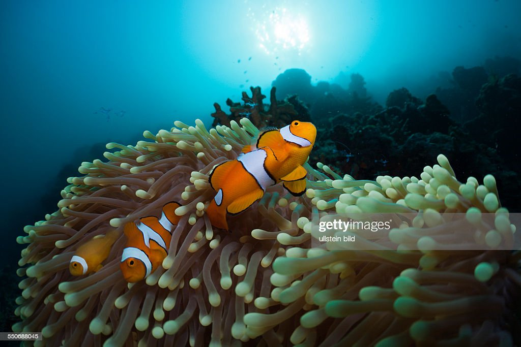 Family of Clown Anemonefish Amphiprion ocellaris Cenderawasih Bay West Papua Indonesia