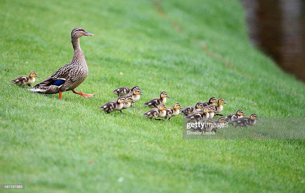 A family of ducks in action during the pro-am at Quail Hollow Club on April 30, 2014 in Charlotte, North Carolina.