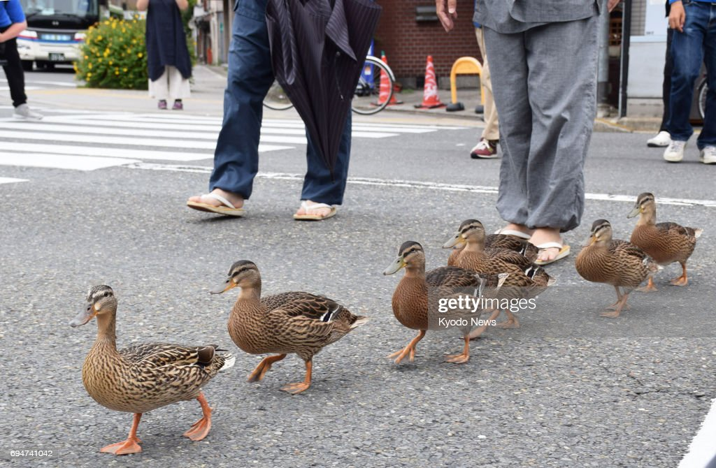 A family of ducks make their annual 700-meter trip to the Kamo River from a pond in Yoboji Temple's ground in Kyoto on June 11, 2017. Ducks started nesting at the pond in the spring 12 years ago to hatch ducklings. Their walk to the nearby river after the ducklings have grown around June has become a site of great interest for the locals, and the police control traffic to assist their trip. ==Kyodo
