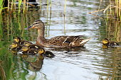 A family of ducks, mother duck and ducklings swim in the water.  A female duck which looks at its ducklings. Ducklings are all together included.