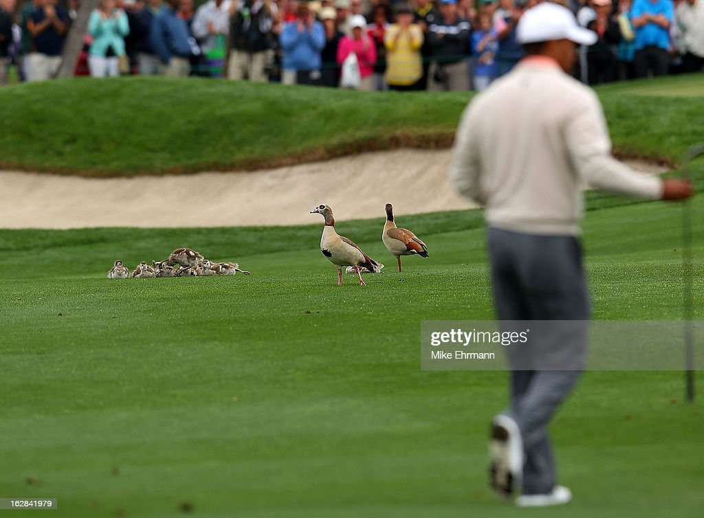 A family of ducks watches Tiger Woods walk up the seventh hole during the first round of the Honda Classic at PGA National Resort and Spa on February 28, 2013 in Palm Beach Gardens, Florida.