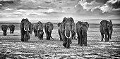 herd of elephants walking group on the African savannah at photographer, Kenya