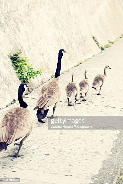 Family of geese walking down sidewalk.