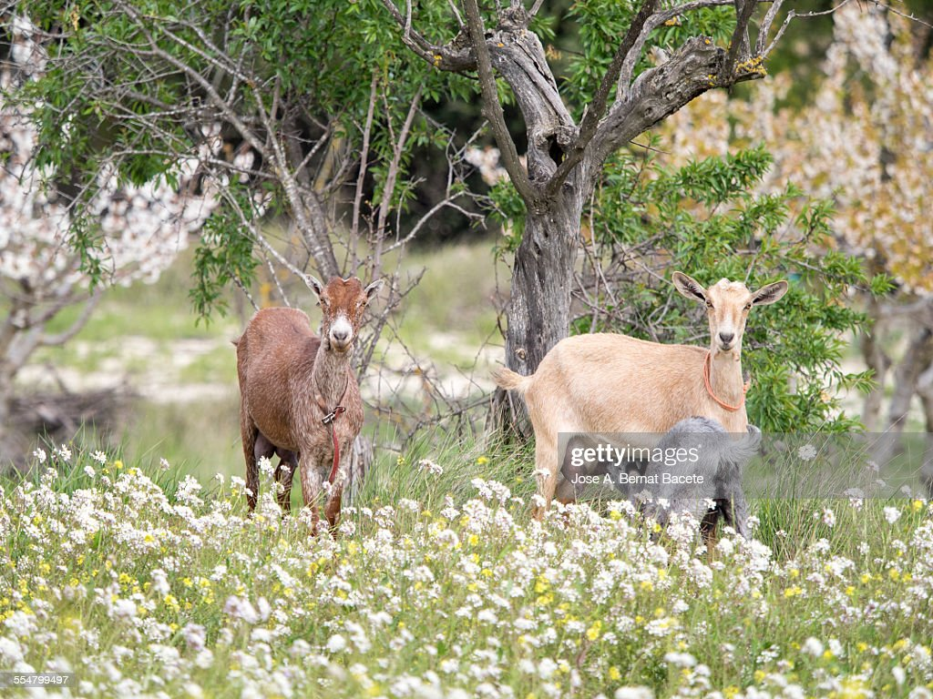 Family of goats in the field.