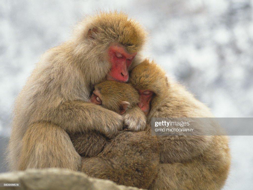 Family of Japanese macaque, Jigokudani, Yamanouchi town, Nagano prefecture, Japan