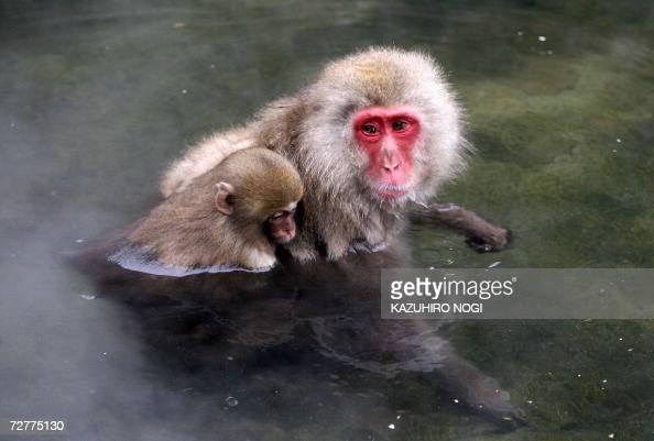 A family of Japanese wild monkeys enjoy an openair hot spring at the Jigokudani Monkey Park near Shigakogen in the northern part of Nagano prefecture...