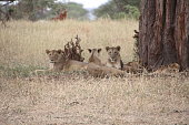 Four lions in the national park of Serengeti in Africa, staring at the camera