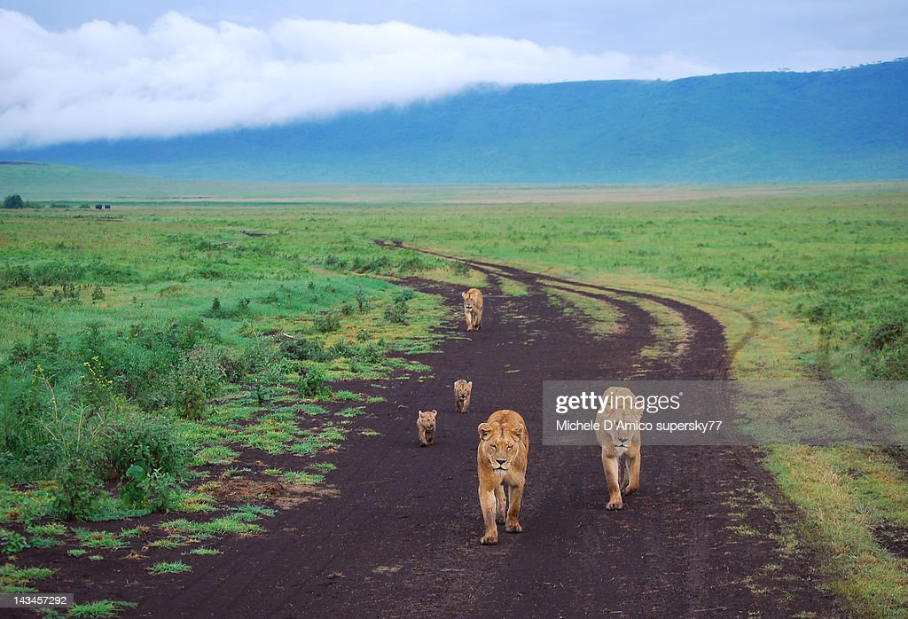 Family of Lions : Stock Photo