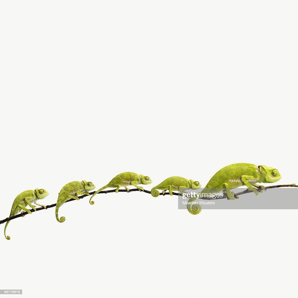 lizard, chameleon, reptile, studio, white background, green, curl, tail, line, queue, happy family