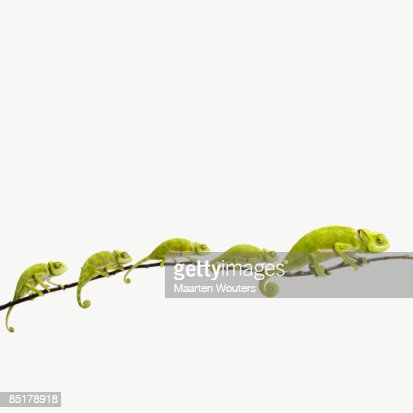 family of little chameleons following a big one