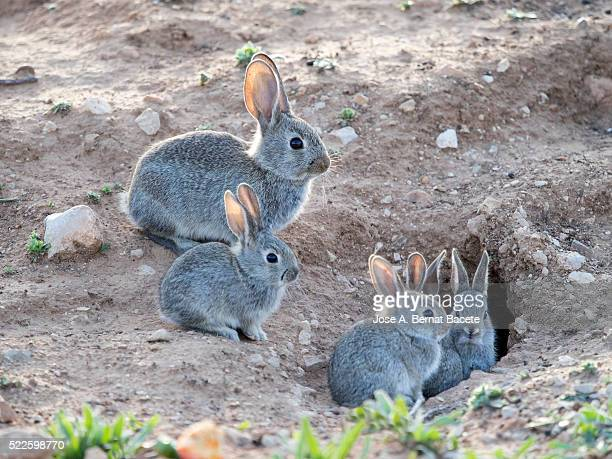 Family of small rabbits close to his burrow monitored closely over his mother., ( Species Oryctolagus cuniculus.)