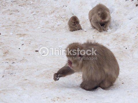 Familia De Monos De Nieve Hallazgo Tuerca De Pinos Foto De Stock