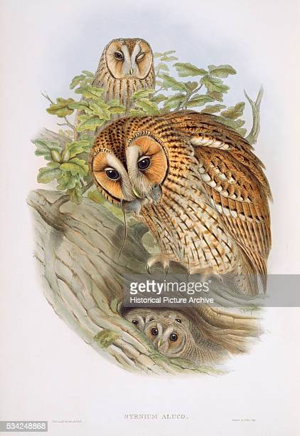 A Family of Tawny Owls by Thomas Gould