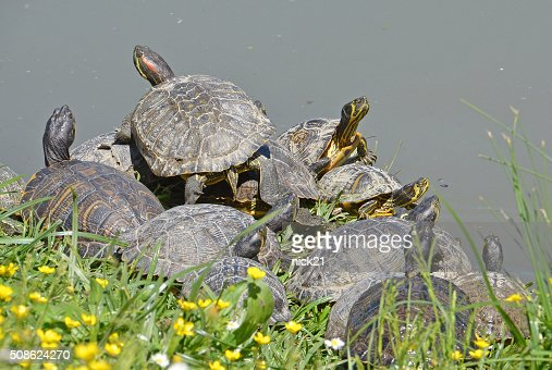 family of water turtle : Stock Photo
