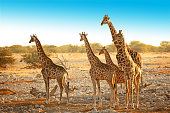 Family of five wild giraffes is standing in a dry savannah landscape near Okaukuejo waterhole in Etosha National Park in Namibia, Africa. The group consists of young and older animals of various ages