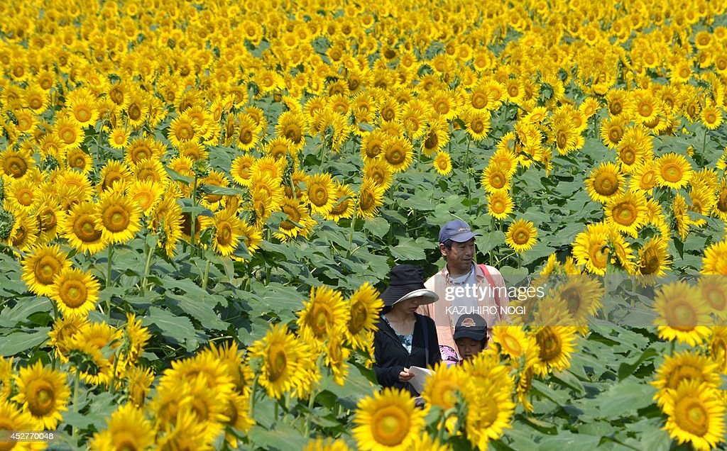 A family walk through a maze of sunflowers growing in a field during a three-day sunflower festival in the town of Nogi, Tochigi prefecture, some 70 km north of Tokyo on July 27, 2014. A total of some 200,000 sunflowers welcomed guests for the summer festival, an annual draw for the small town.