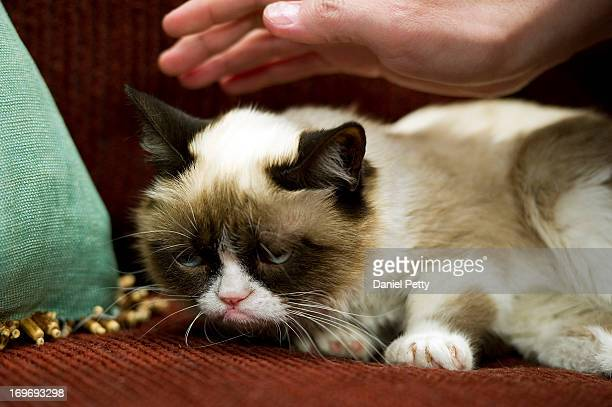 A fan caresses the head of the cat 'Tardar Sauce' better known by its viral Internet meme name 'Grumpy Cat' during a press event during the 2013 SXSW...